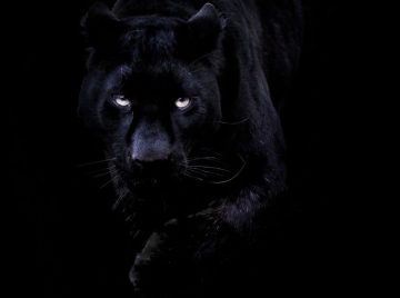 cropped-black-panther.jpg